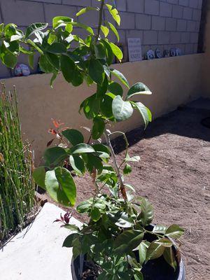 Una de gato ( Cat's claw ) plant for Sale in Chula Vista, CA