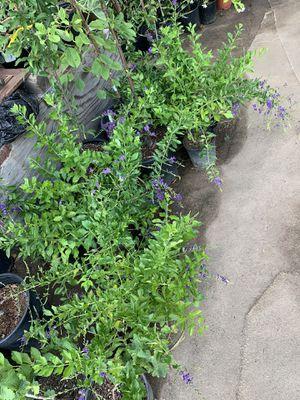 Purple flower trees for Sale in Fresno, CA