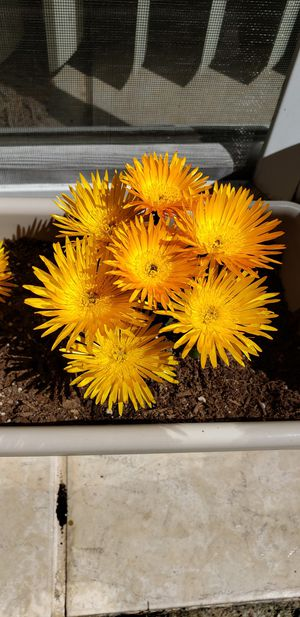 Ice plant (yellow flowers), not currently in bloom for Sale in Lemon Grove, CA