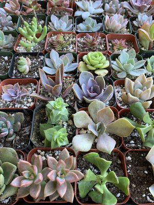 """Variety of SUCCULENT Plants 2"""" Pots Very Cute and Healthy SUCCULENTS 🌱 for Sale in San Diego, CA"""