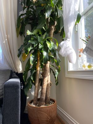 Beautiful healthy indoor plant for Sale in Washington, DC