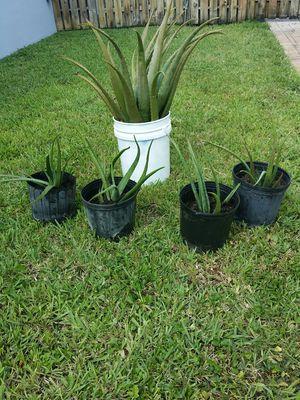 Aloe Plants for Sale in Davie, FL