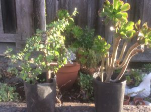 Nice Plants in one gallon pot for $20 for Sale in El Sobrante, CA