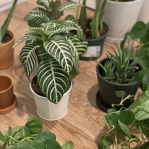 HOUSE PLANTS for Sale in Kenmore, WA