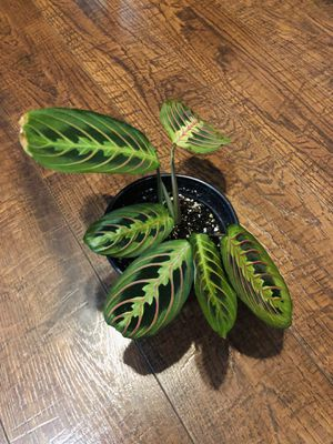 Prayer plant for Sale in Damascus, OR