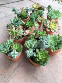 Potted Succulents / Wedding / Shower / Favors for Sale in San Marcos, CA