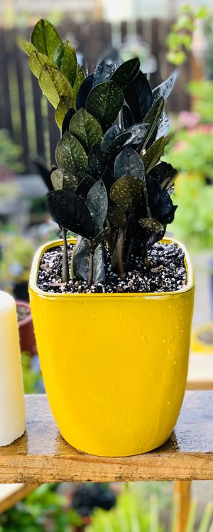 Live indoor very full Raven ZZ house plant in a ceramic planter pot—firm price for Sale in Seattle, WA