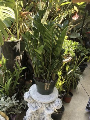 """ZZ plant in a 8"""" pot indoor houseplant for Sale in Santa Ana, CA"""