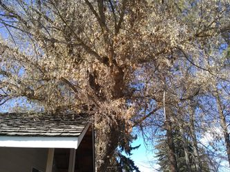 Big tree for Sale in Prineville,  OR