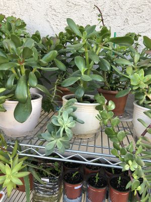 Succulent composition in the nice ceramic pots for Sale in Antelope, CA