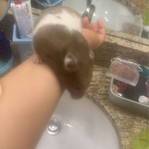 Hamster for Sale in Cape Coral, FL
