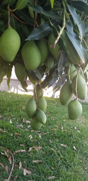 Mangos Verdes for Sale in City of Industry, CA