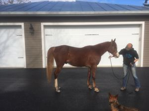 Beautiful Arabian gelding, endurance for Sale in Staunton, VA
