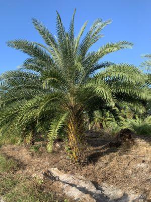 Palm tree field grown 3.5 ft for Sale in Miramar, FL