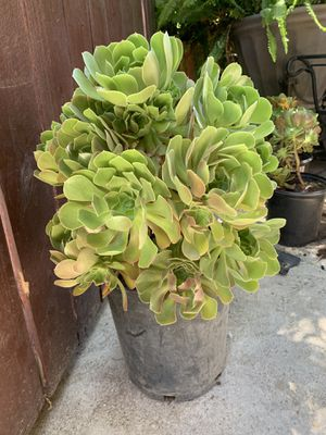 Succulent plant for Sale in Fresno, CA