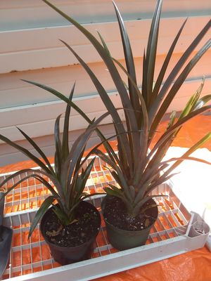 Ornimental Patio Pineapple Plant...bare root for Sale in Zellwood, FL