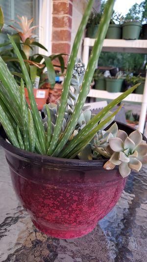 Succulent and aloe Vera for Sale in Dallas, TX