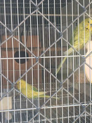 Budgie for Sale in Lynwood, CA