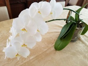 """Beautiful large living white orchid (flower 14"""") for Sale in Sanford, FL"""