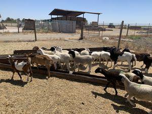 Dorper sheep for Sale in Lodi, CA