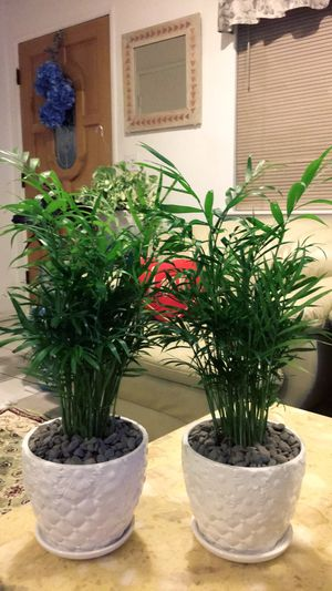 """Neanthe Bella Palm Plants - About 20"""" Total - Indoor Plant - $11 each for Sale in Garden Grove, CA"""