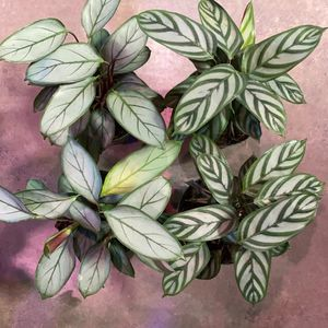 "6"" Ctenanthe Setosa, Grey Star, Prayer Plants for Sale in Long Beach, CA"