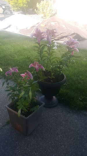 2 Pots with flowering bulbs for Sale in Lynnwood, WA