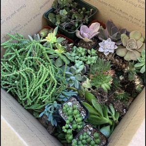 Holiday Special!100 Piece Succulent Box for Sale in South Gate, CA