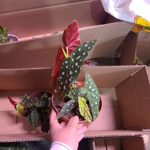 Polka-dot Begonia Maculata for Sale in Monterey Park, CA