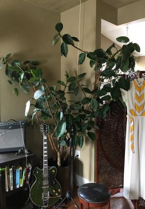 Ficus rubber tree for Sale in Salt Lake City, UT