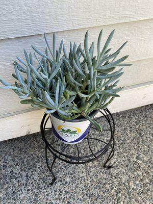 Succulent for Sale in Auburn, WA