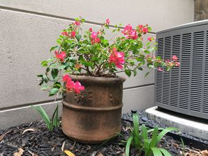 "Garden bougainvillea plant terra-cotta clay planter pot with drainage 13""x13""H x35"" Plant for Sale in Houston, TX"