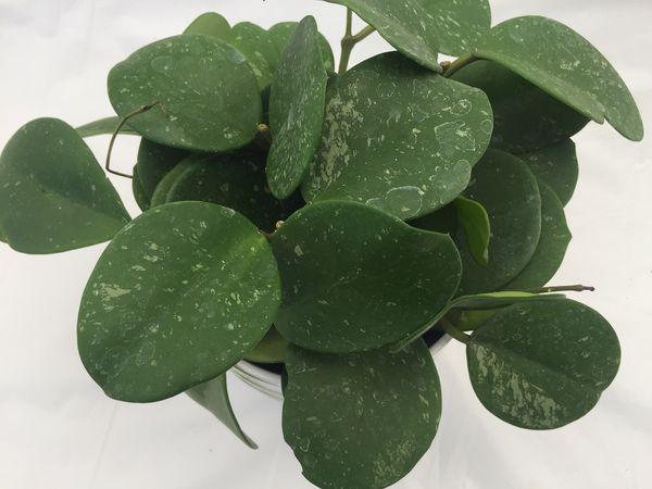Hoya Obovata Plant Wax Plant Rare 6inch Pot For Sale In