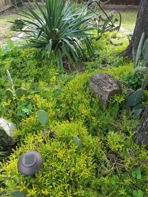 Suculant ground cover for Sale in North Richland Hills, TX