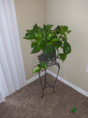 Beautiful pothos plant with stand for Sale in Helotes, TX
