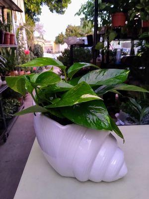 GOLDEN POTHOS INDOOR PLANT for Sale in Paramount, CA