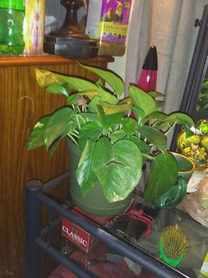 Live plant good healthy plant for Sale in Murfreesboro, TN