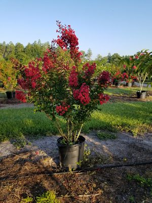 Crepe myrtle trees delivered and planted 10 foot tall for Sale in Bradenton, FL
