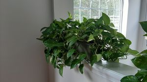 Live plant with pot for Sale in Germantown, MD