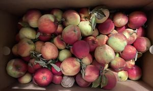 Free apples. Medium to small in size. for Sale in Kent, WA