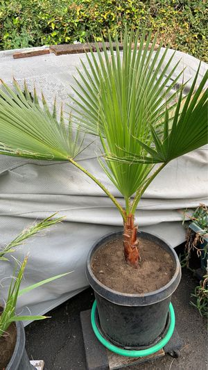 Palm tree in pot decorative green plants for Sale in Altadena, CA