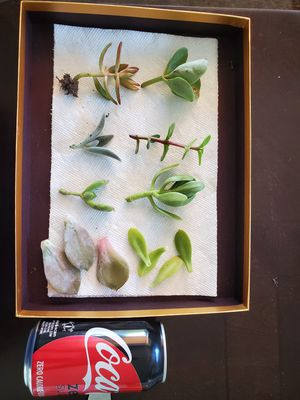 Succulent cuttings for Sale in Kenmore, WA