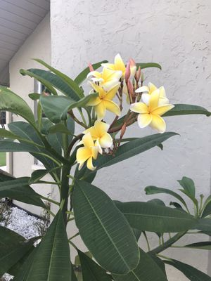 Potted plumeria plants for Sale in Clearwater, FL
