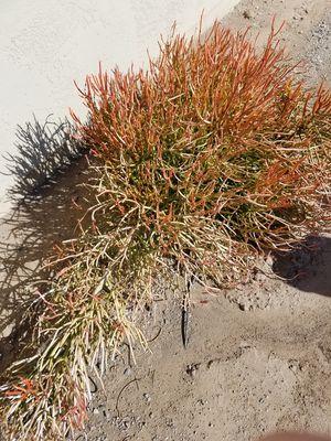 fire stick succulent plant cuttings. for Sale in Queen Creek, AZ