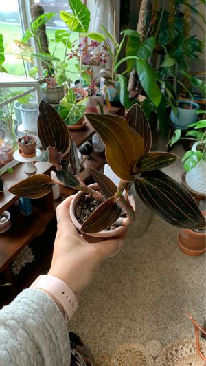 Jewel orchid plant for Sale in Gresham, OR