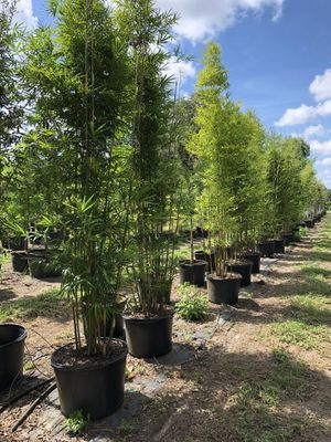 Bamboo Seabreeze for Sale in Plant City, FL
