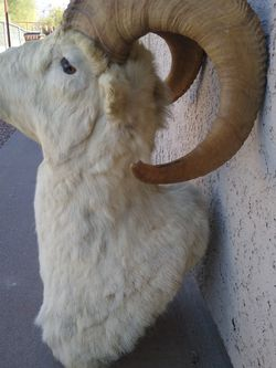 Dall Big Horn Sheep Taxidermy Shoulder Mount for Sale in Roosevelt,  AZ