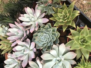 Mix succulents for Sale in Fontana, CA