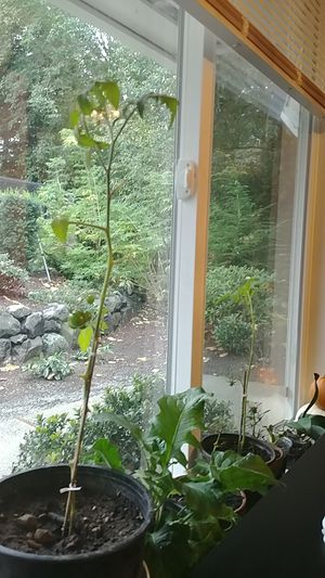 Cherry tomatoes plant indoor for Sale in Kirkland, WA