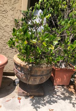 Giant Boxwood Topiaries 2 for Sale in Carlsbad,  CA